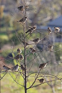 flock of sparrows in a tree